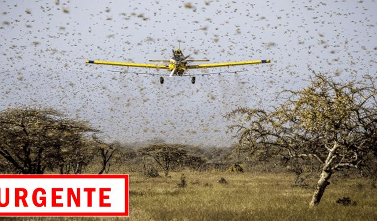 Urgente: nuvem de gafanhotos avança para o Brasil, 400 aviões devem ser usados no combate – Vídeos